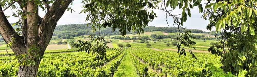 wijngaarde burgenland