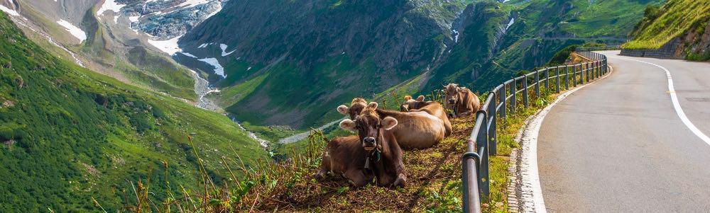 koeien langs de weg in zwitserland