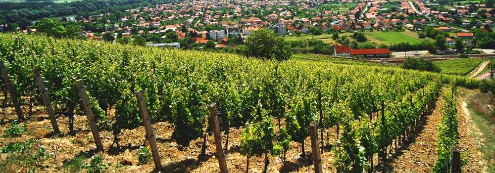 wijngaarden in tokaj